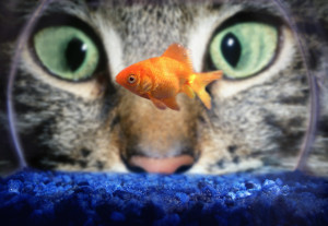 ca. 1990s --- Cat Staring at Goldfish --- Image by © Aaron Horowitz/CORBIS