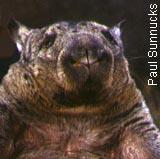 NHN Wombat